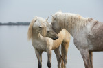 camargue_horse_workshop_2014_101