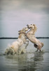 camargue_horse_workshop_2014_104