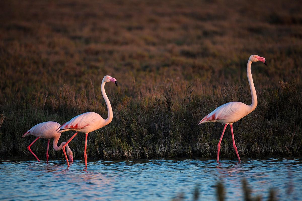 Flamingos in France