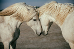 The white Camargue horses