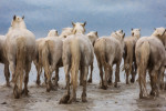 camargue_horse_workshop_2014_206