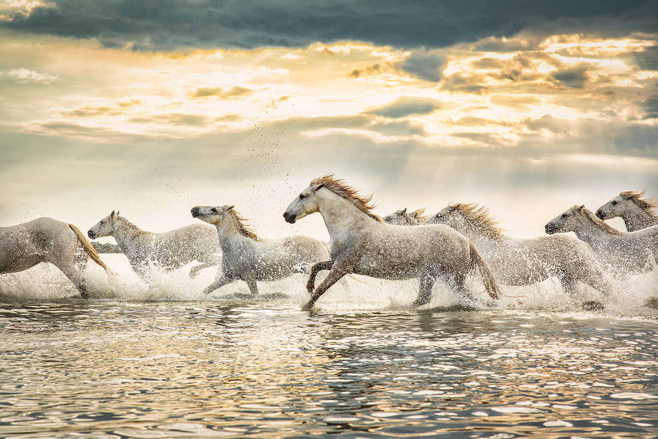 The white horses of the Camargue