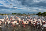 Flamingos in the south of France
