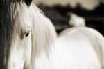 camargue_horses_01555