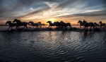 camargue_horses_052_snset