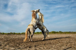 camargue_horses_134_stallions_fighting