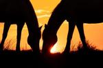 camargue_horses_horses_camargue_sunrise