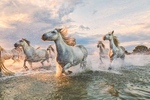 The Camargue white horses in the south of France