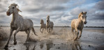camargue_horses_running_2