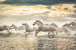 The Camargue Horses of France running at sunset