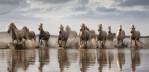 camargue_horses_running