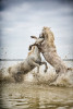Camargue stallions fighting in the south of France