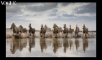 The beautiful horses of the Camargue