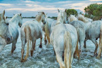 camargue_horses_walking_away_in_water_france