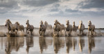 camargue_white_horses_france_1_intro