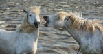 camargue_white_horses_france_intro