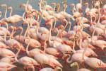The pink flamingos of Saint Marie de la Mer