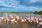 The pink flamingos of Saint Marie de la Mer