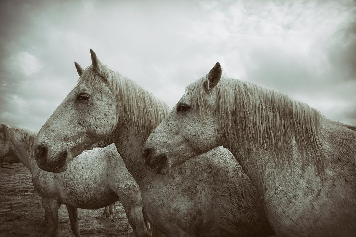 france_camargue_horses34