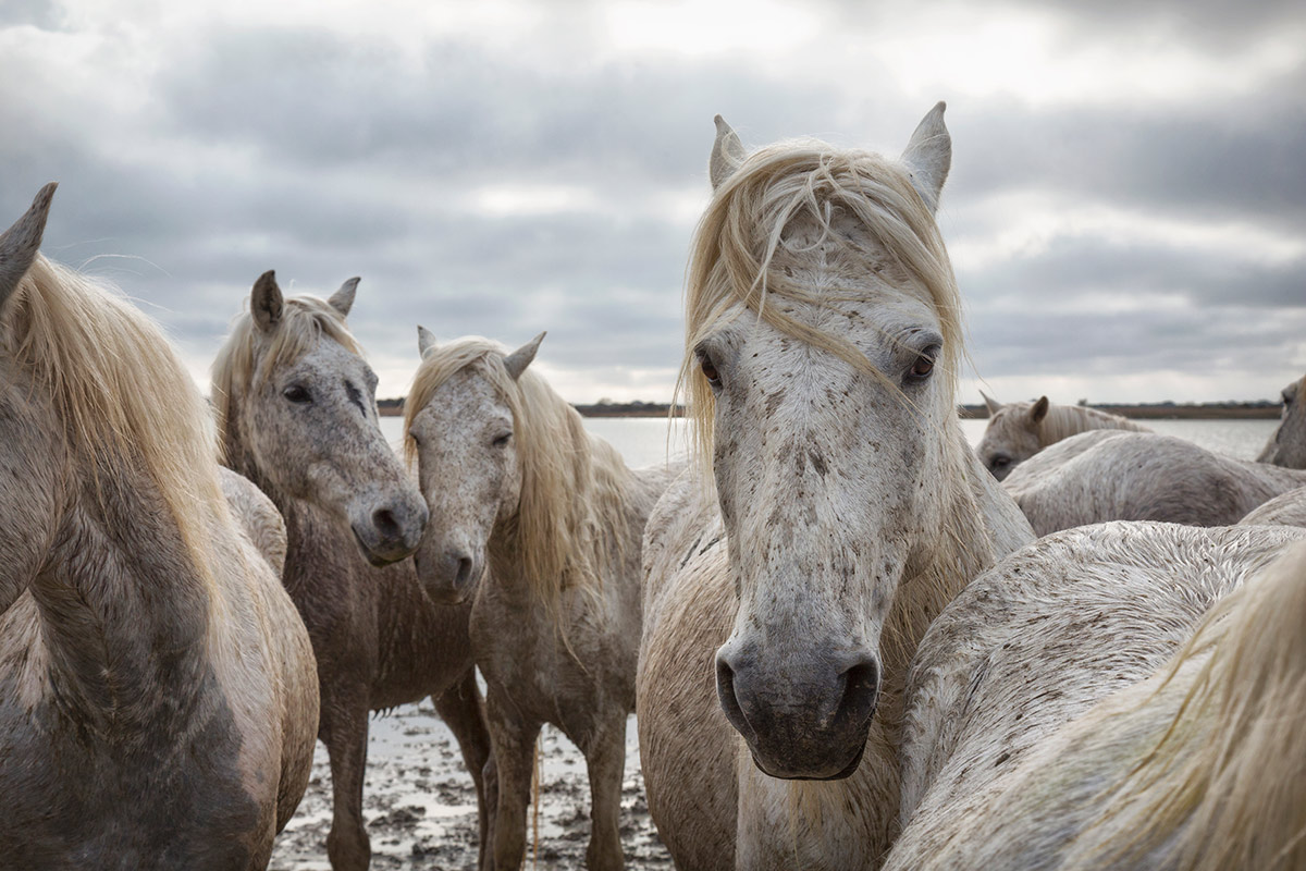 france_camargue_horses35