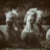france_camargue_horses65