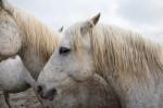 france_camargue_horses66