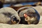galapagos_sea_lions_beauty