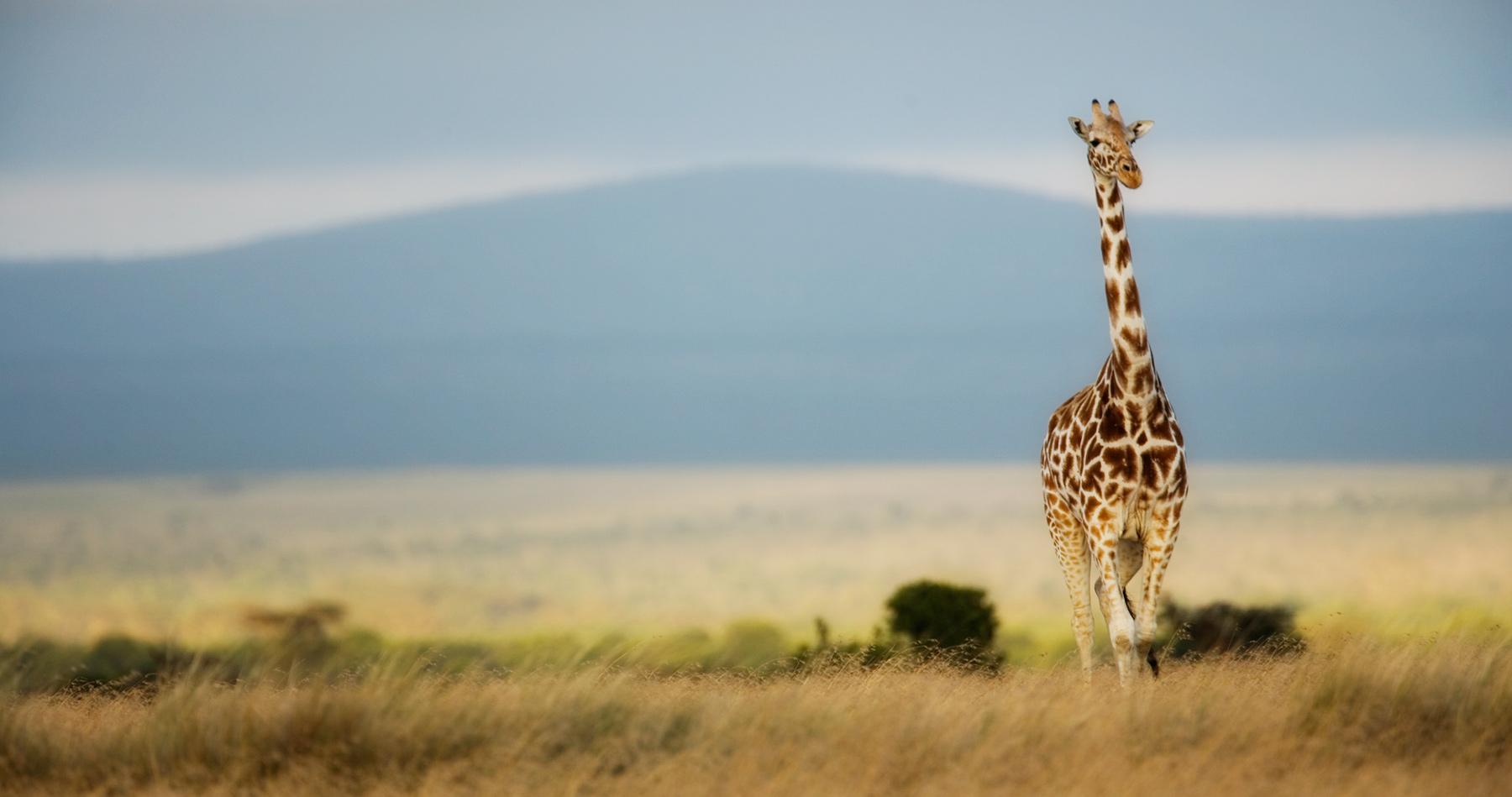 giraffe_kenya_intro