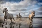 horses_camargue_running_best