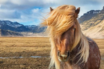 The stunning horses of Iceland