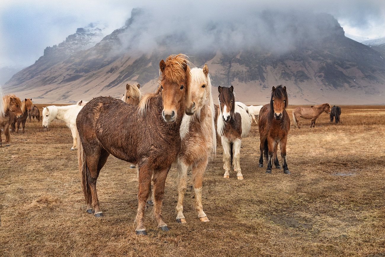 The amazing Icelandic horses