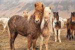 iceland_2018_workshop_tour_horses_beauty