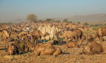 The Pushkar Camel festival