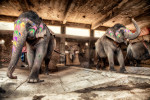 india_elephants_andrew2_01