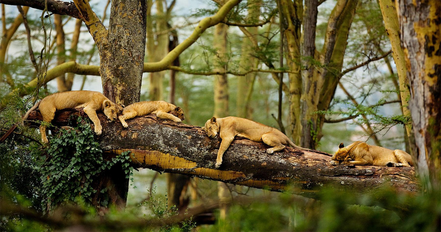 kenya_lions_napping_intro