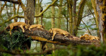 kenya_lions_napping_intro