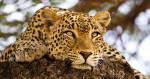 leopard_kenya_1_intro