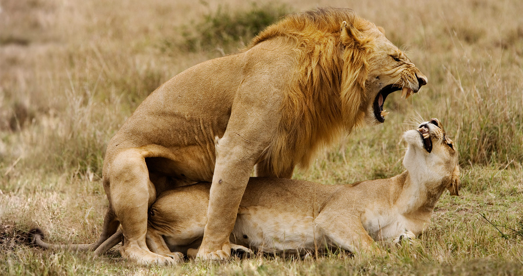 lions_mating_kenya_intro