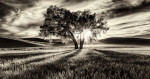lone_tree_palouse_black_and_white_intro