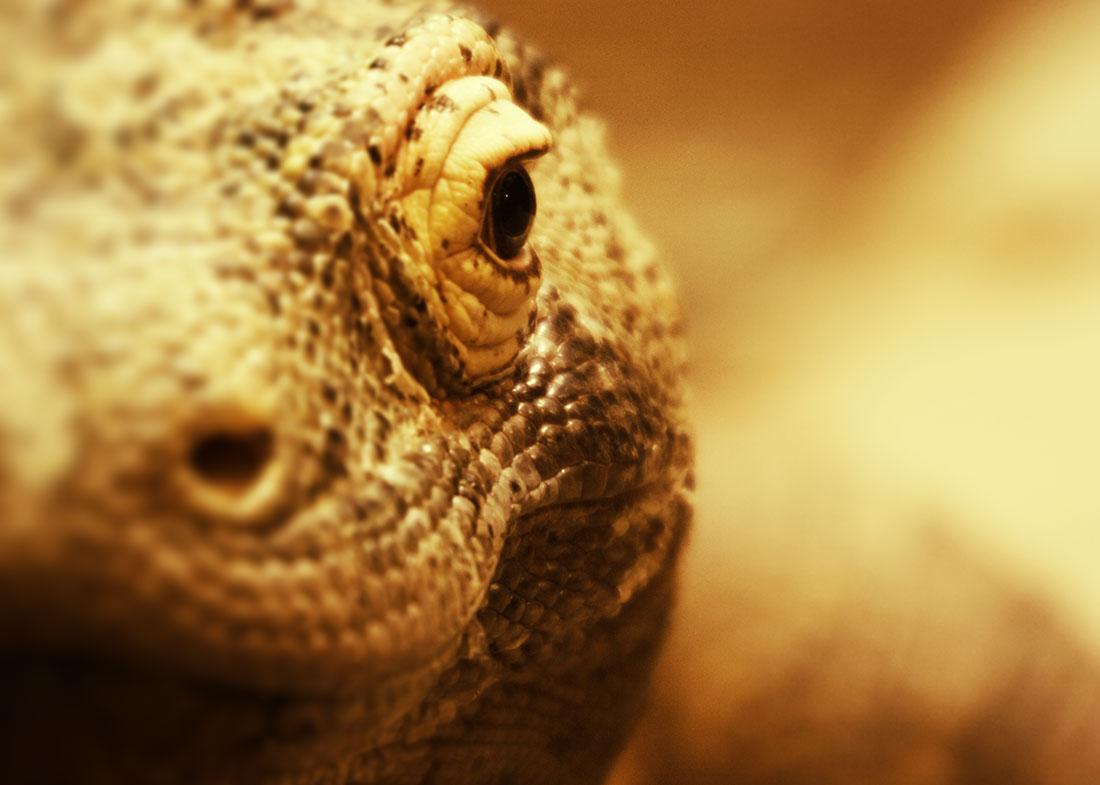 The deadly Komodo Dragon