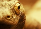 The deadly Komodo Dragon