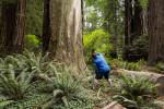 David spots a leopard in a redwood tree