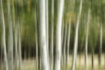 aspen trees near flagstaff, arizona