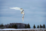 The Snowy White owls of Canada