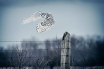 snowy_white_owls_sweet_232