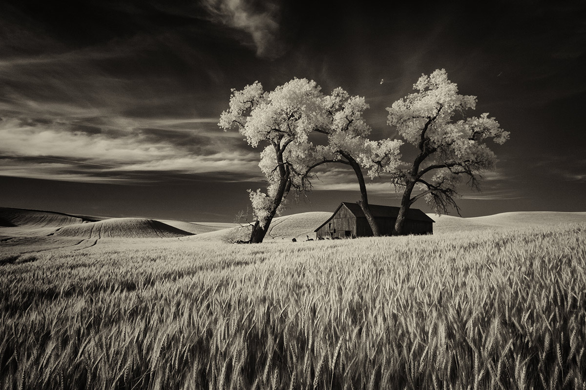 Lone tree at sunset in the Palouse