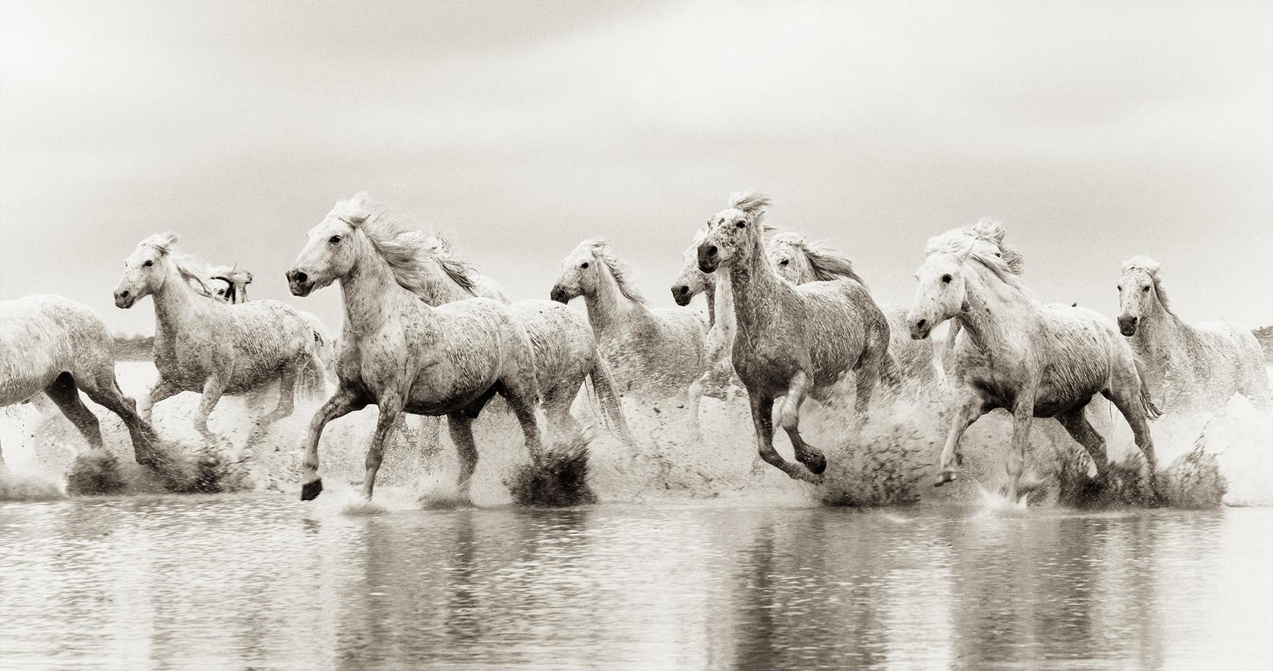 white_camargue_horses_4