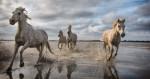 white_camargue_horses_5