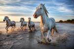 The Camargue horse workshop in France, 2016