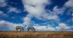 zebras_kenya